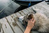 istock Hand caressing a malamute dog 1031038138