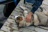 istock Hand caressing a malamute dog 1031038212