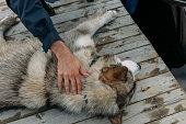 istock Hand caressing a malamute dog 1086682998