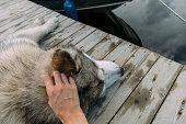 istock Hand caressing a malamute dog 1086683000