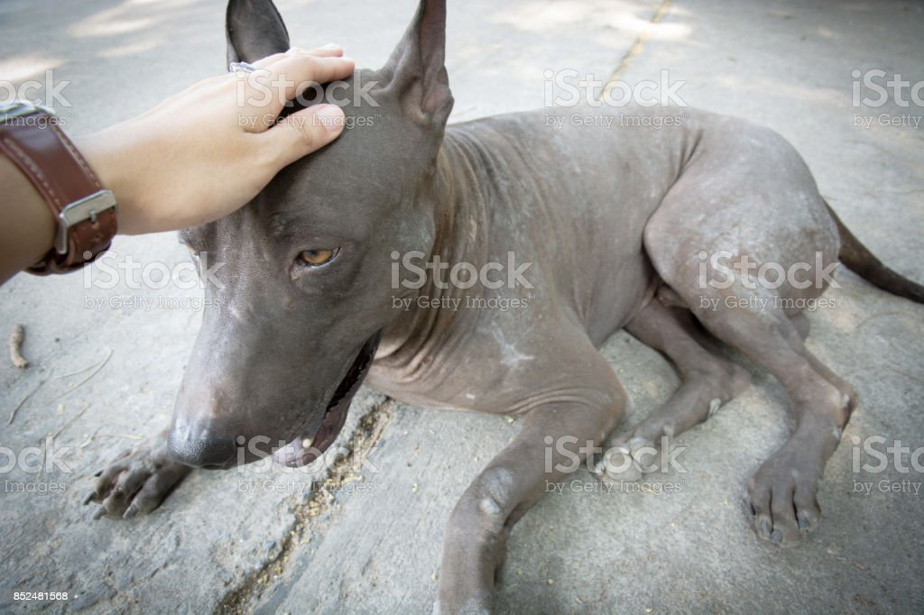 Hand caressing dog's head it looks like sad,vagrant dog (Temple, Thailand). stock photo