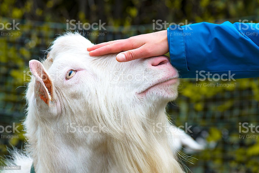 Hand caressing the head of a goat stock photo