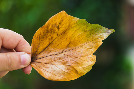 Hand carrying a dry tree leaf