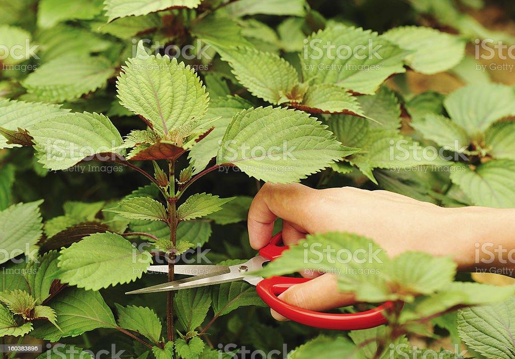 hand cut purple perilla royalty-free stock photo