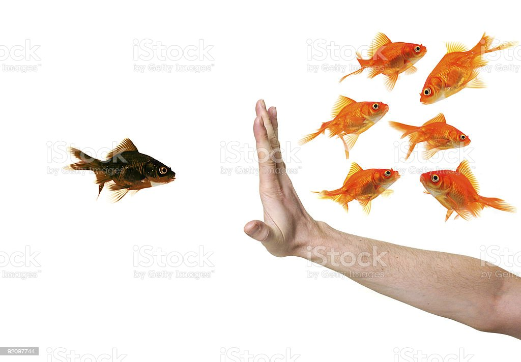 hand discriminating black goldfish stock photo
