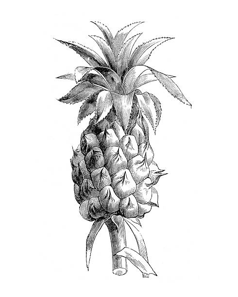 Hand drawn illustration of a pineapple stock photo