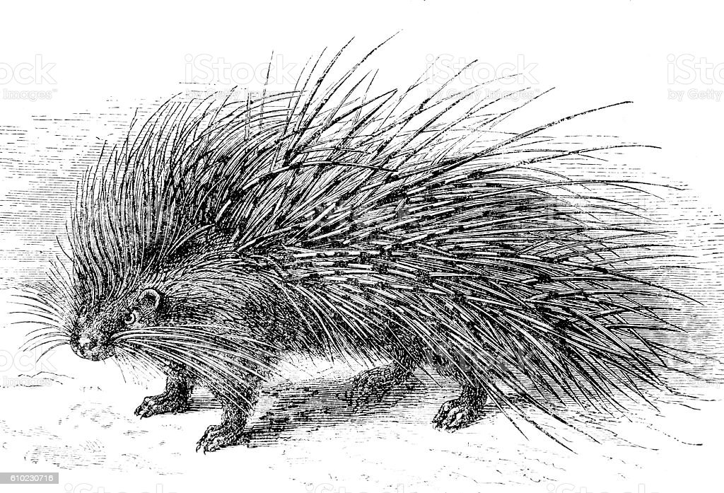 Hand drawn illustration of a porcupine stock photo