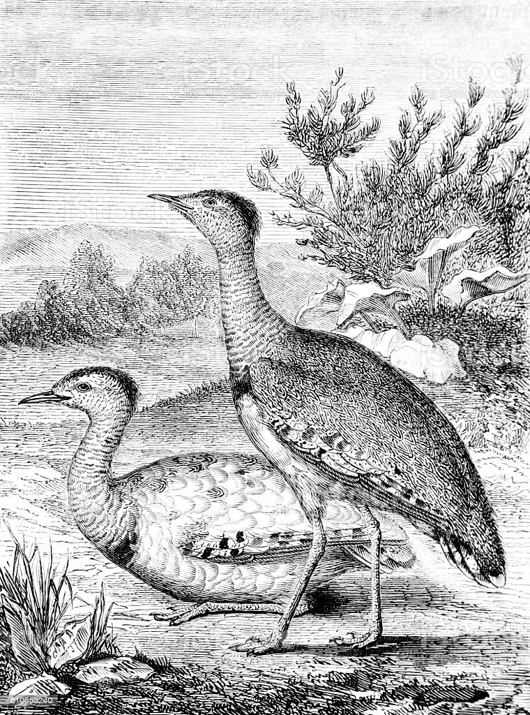 Hand drawn illustration of bustards duck stock photo