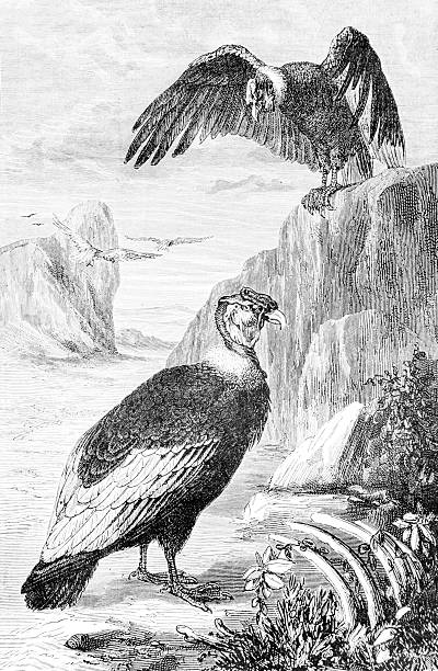 Hand drawn illustration of vultures stock photo