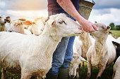 Shot of a male farmer feeding a herd of sheep on a farm