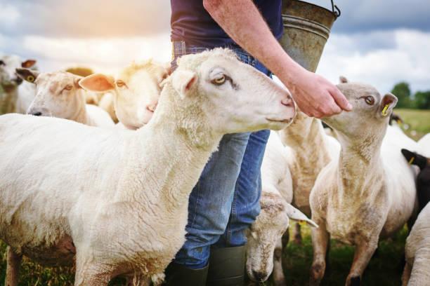 Main de moutons nourris sont joyeux mouton - Photo