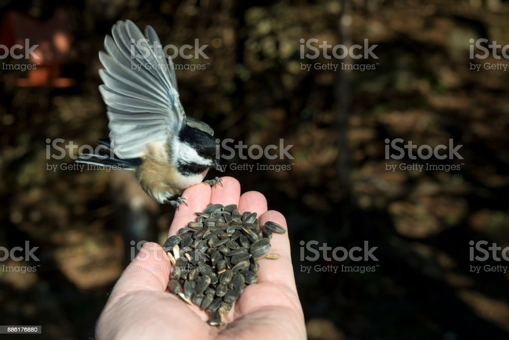 Hand Feeding A Bird stock photo