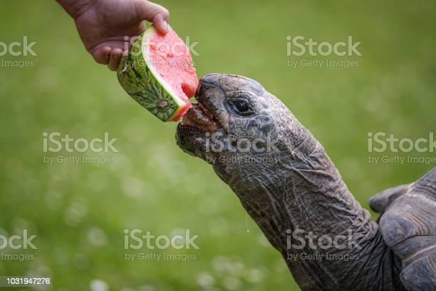 Hand feeding a giant tortoise with a watermelon picture id1031947276?b=1&k=6&m=1031947276&s=612x612&h=r2lr03czju qmvcb61vw3ausr32pgfscshxvizucd64=