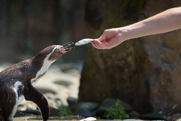 Hand feeding a humboldt penguin with a fish picture id1039590022?b=1&k=6&m=1039590022&s=612x612&w=0&h=c5mx1 vd05ckiwh78bchkwowr1fcuapxafj1ccdyele=