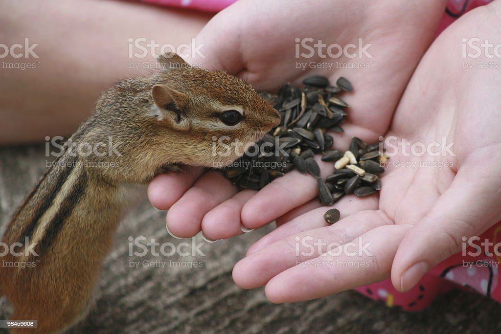 Hand feeding a little squirrel royalty-free stock photo