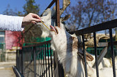 Hand feeding strips white Italian goat breeds of Gigantona with beautiful twisted horns - a descendant of the horned wild goat of mountainous Afghanistan. Agricultural yard