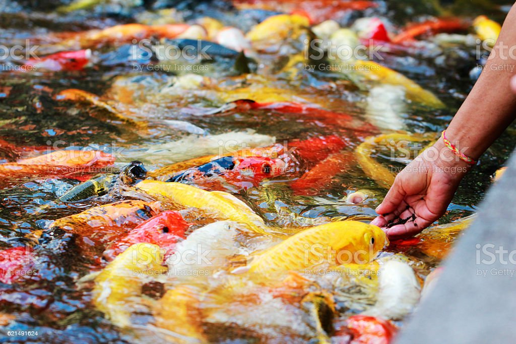 hand feeding to fancy koi carp in pond photo libre de droits
