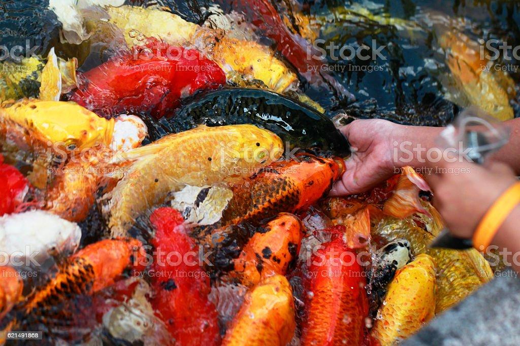 hand feeding to fancy koi carp in pond photo libre de droits