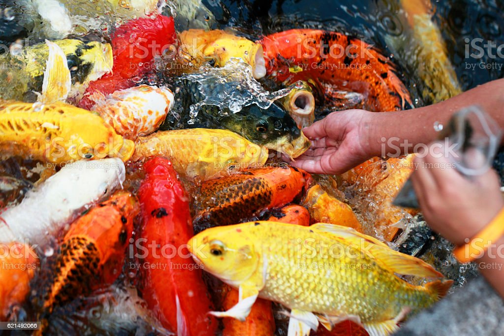hand feeding to fancy koi carp in pond foto stock royalty-free