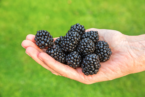 Hand filled with fresh blackberries