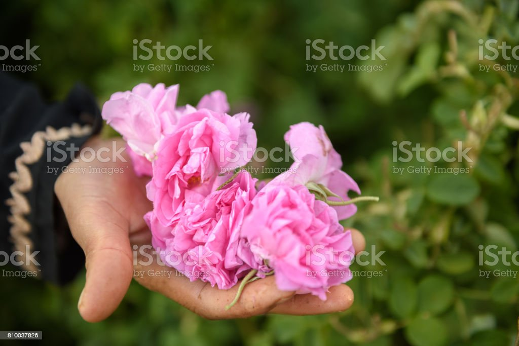 hand full of damask roses - foto stock