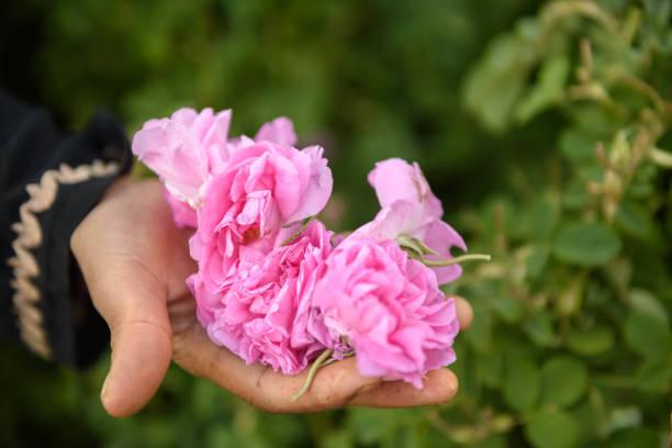 hand full of damask roses - foto stock