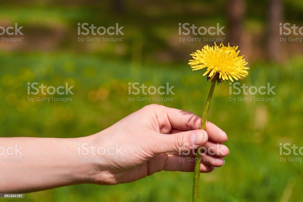hand tjej innehar en gul maskros i naturen royaltyfri bildbanksbilder