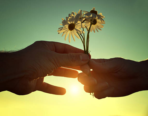 Hand gives a flowers marguerites with love at sunset. stock photo