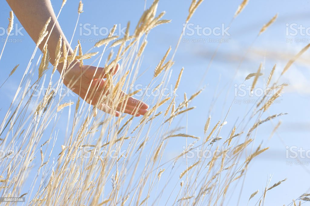 Hand gliding over wheat in field stock photo