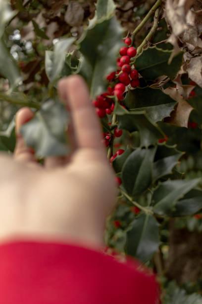 hand grabbing a mistletoe - monica pirozzi foto e immagini stock