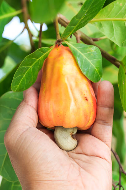 Hand harvesting Cashew fruit (Anacardium occidentale) on tree stock photo