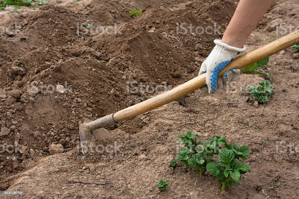 hand hilling potatoes with hoes in the garden stock photo