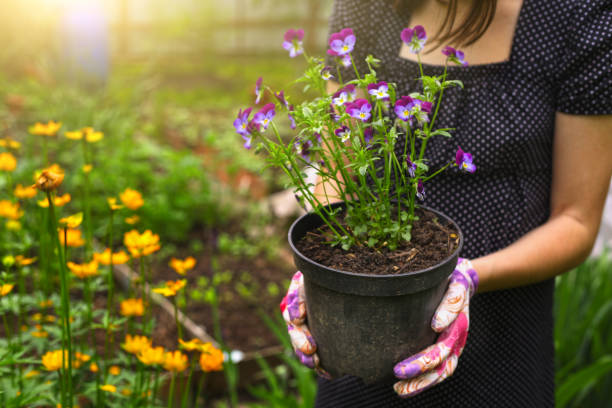 hand hold pot with pansies hand hold pot with pansies on the blossoming garden background pansy stock pictures, royalty-free photos & images
