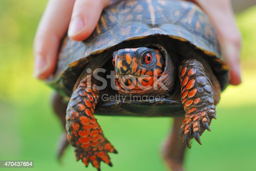 Box turtle held in a child's hand.