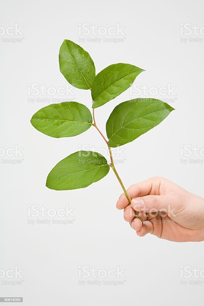 Hand holding a branch royalty-free stock photo