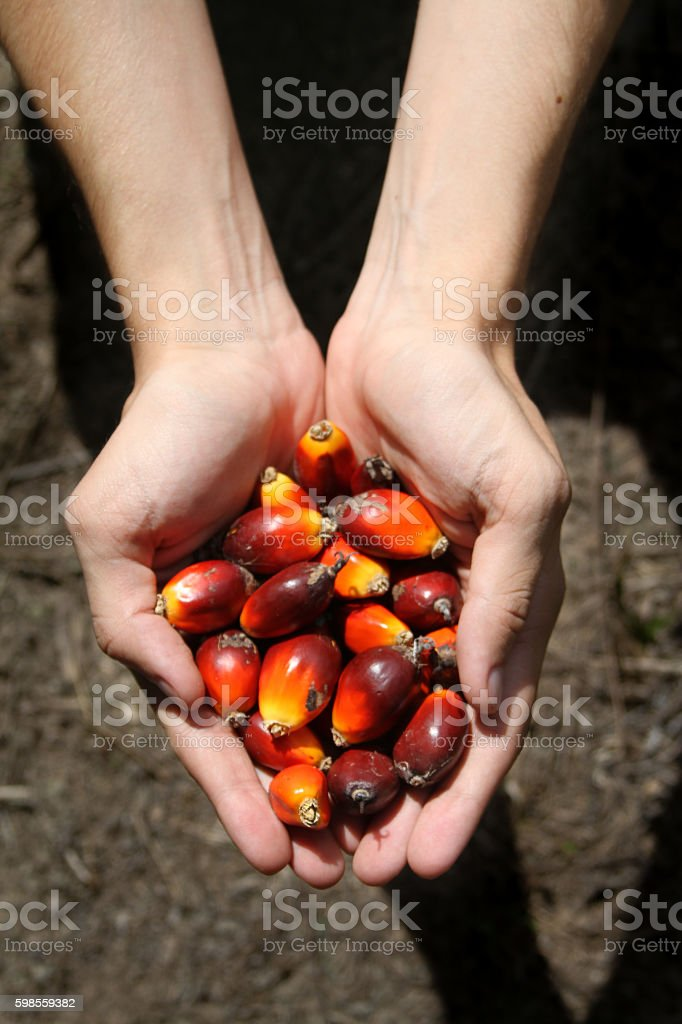 Hand holding a bunch of palm fruit stock photo