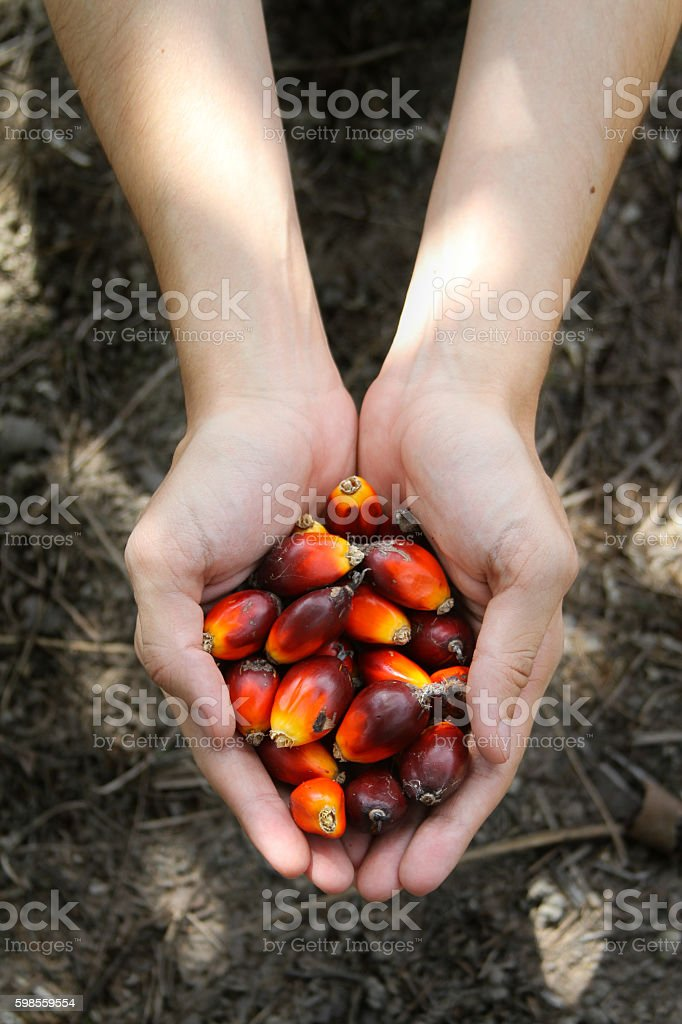 Hand holding a bunch of palm fruit under a shadow stock photo