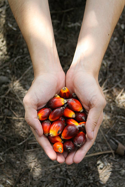 Hand holding a bunch of palm fruit under a shadow Hand holding a bunch of palm fruit with ground background, under a palm tree shadow. palm oil stock pictures, royalty-free photos & images