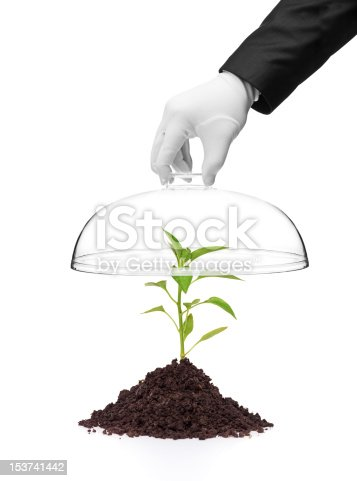 A hand holding a cover over a pepper plant in soil isolated on white background