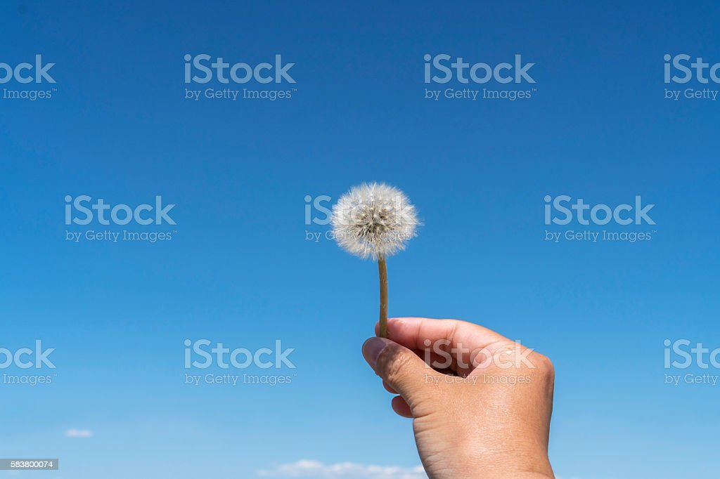 hand holding a dandelion in blue sky stock photo