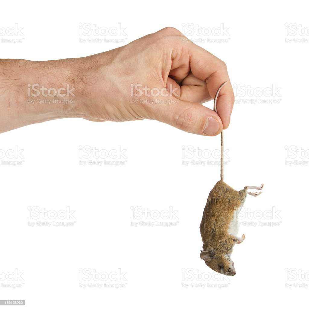 Hand holding a dead mouse, isolated stock photo