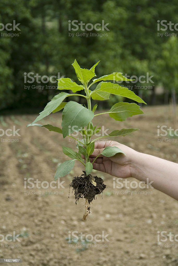 Hand holding a fresh vegetable royalty-free stock photo