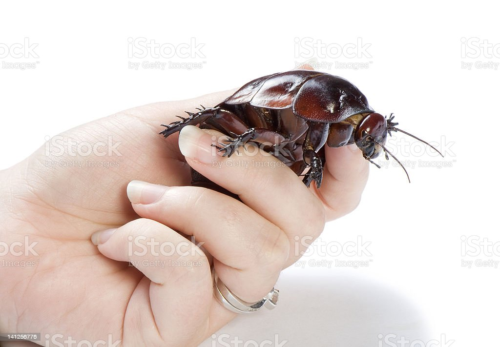 Hand holding a giant burrowing cockroach on white background. stock photo