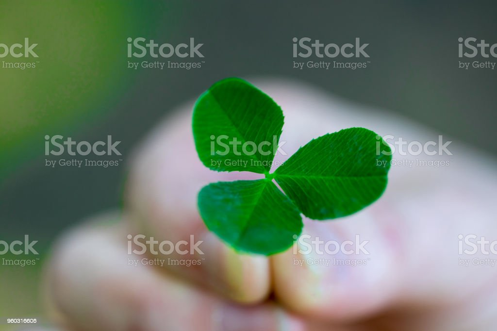 Hand holding a green clover leaf close up stock photo