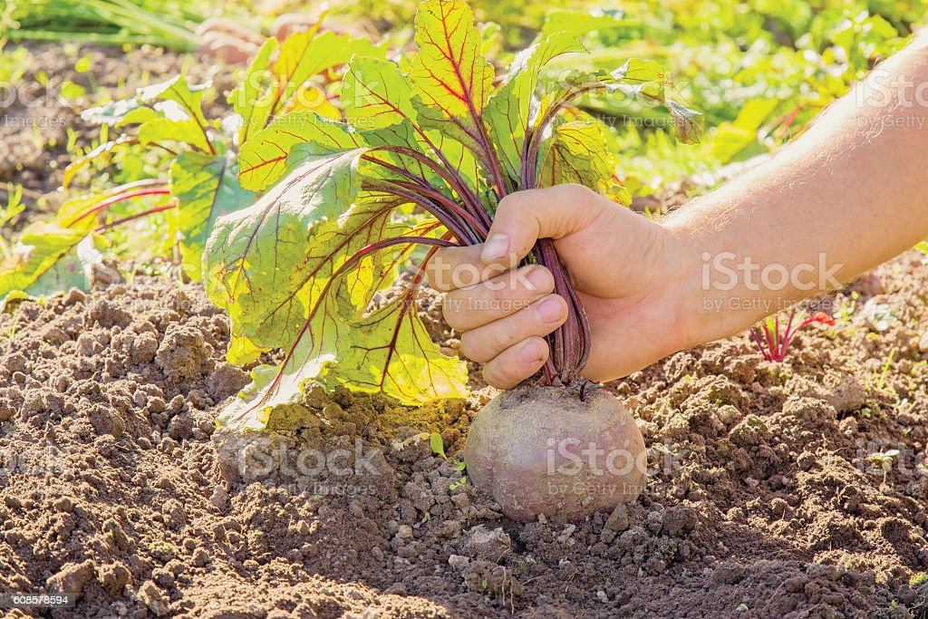 Hand holding a large, beautiful grown beet in the garden. stock photo