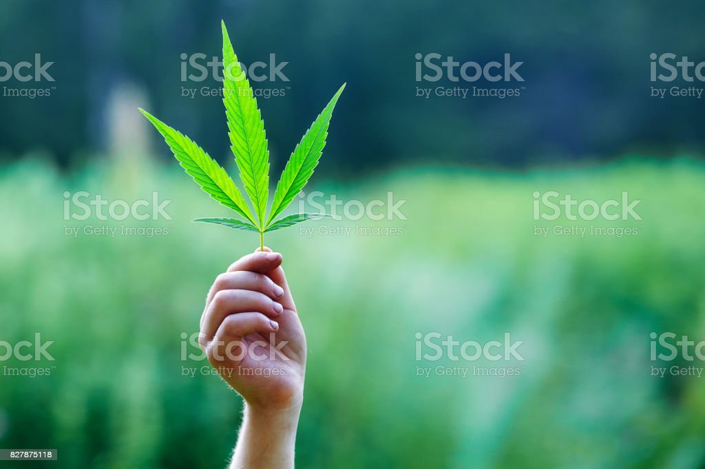 Hand holding a leaf of marijuana stock photo