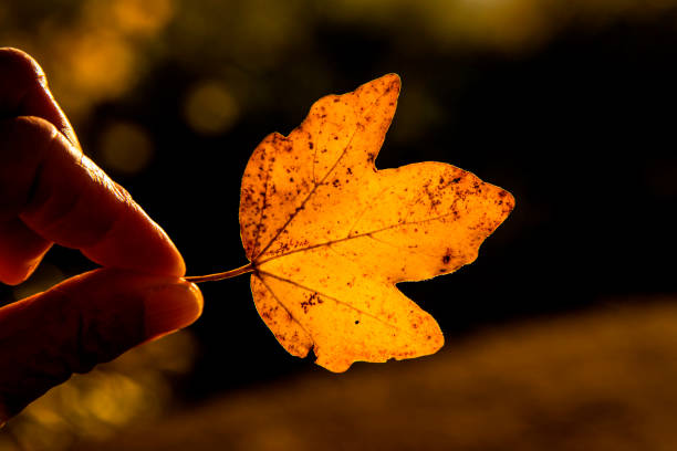 hand holding a maple leaf in autumnal colors stock photo