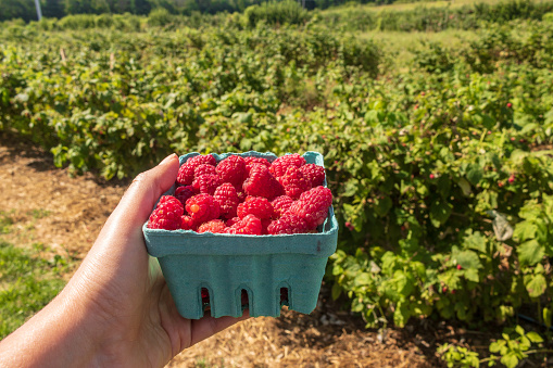 istock Hand holding a pint of raspberries with raspberry bushes in the background 1171765217