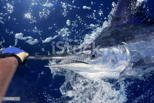 istock Hand holding a white marlin fish in the ocean 105069220