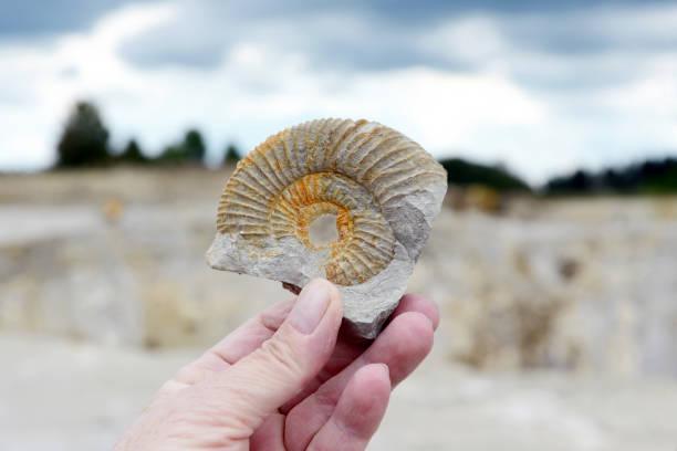 Hand, die ein Ammonit Fossil in Kalkfelsen. – Foto